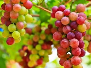 szőlő_2