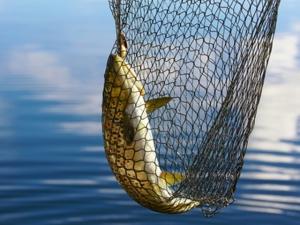 tiszai hal