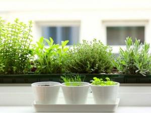 Zöldül a konyha, hogyan tarsunk fűszernövényeket