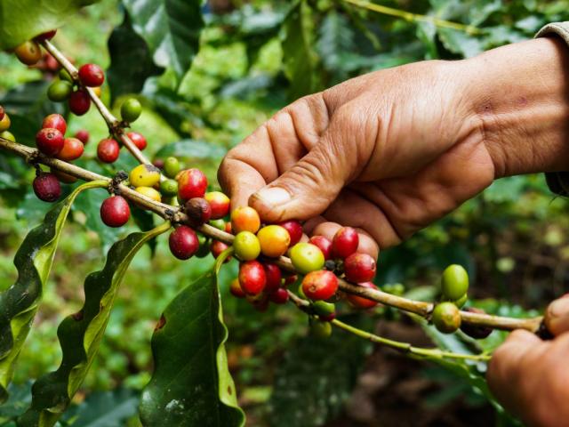 A legújabb energiaital: kávégyümölcs kávé