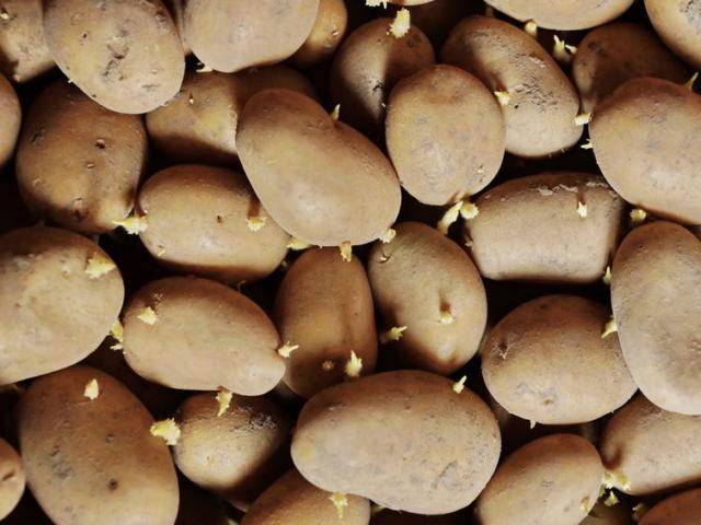Biztonságos kicsírázott burgonyát fogyasztani?