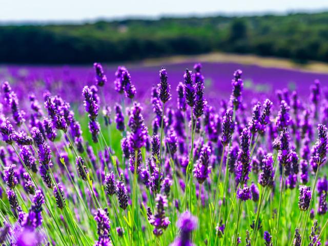 Levendula, a lila csodanövény