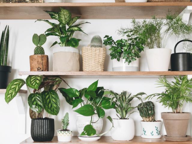 Miért barnulnak be a növények levélcsúcsai?