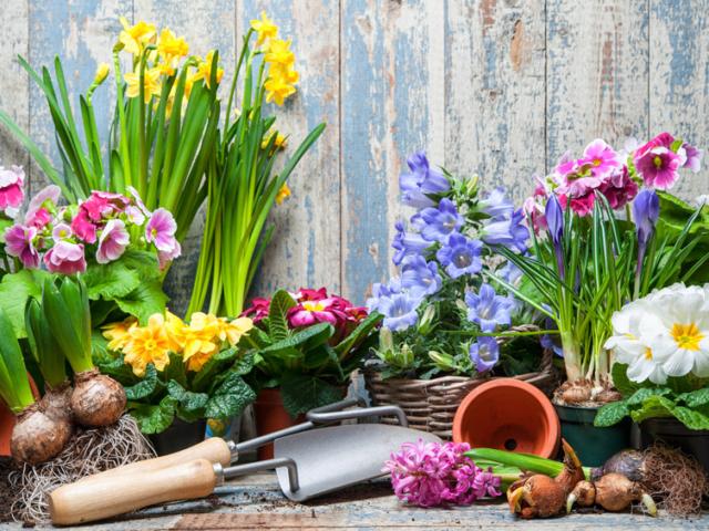 Jóval előrébb hoznád a tavaszi hagymások virágzását?